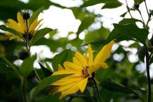bloemen van de aardpeer