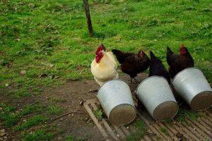 de haan met kippen